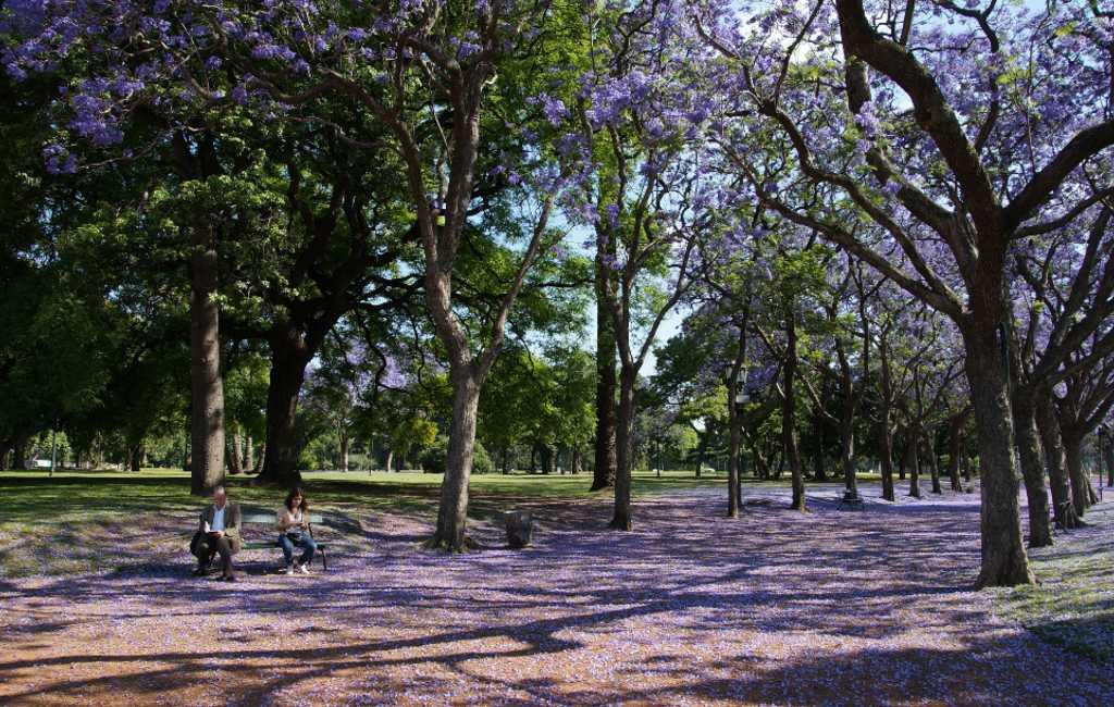 """De tweestrijd rondom de mooie maar plakkerige paars gekleurde """"jacarandas"""" bomen in Spanje"""