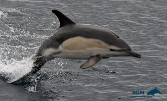 Meer dan 3.000 dolfijnen gezien voor de kust van Galicië