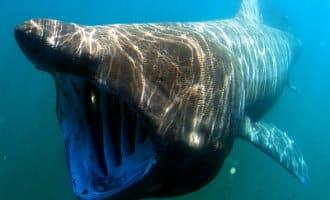 Vissers filmen een reuzenhaai voor de kust van Mallorca (video)