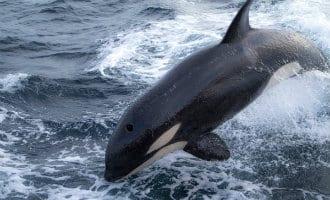 Kustwacht tussen Spanje en Marokko krijgt bezoek van een familie orka's