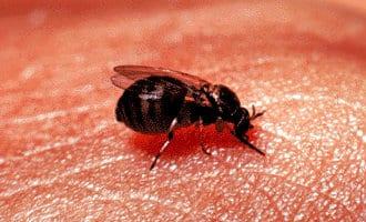 """De opkomst van de """"mosca negra"""" ofwel de kriebelmug"""