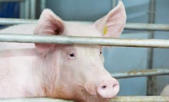 Spanje heeft meer varkens dan mensen als inwoners