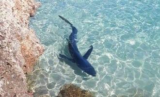 Paniek om een twee meter lange haai bij een strand in Manacor op Mallorca