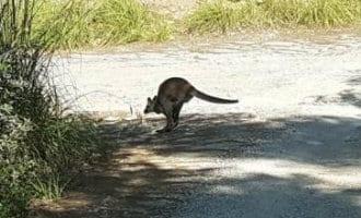 Kangoeroe aangereden op Menorca
