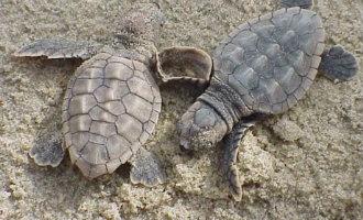 85 baby schildpadden geboren op strand Cambrils