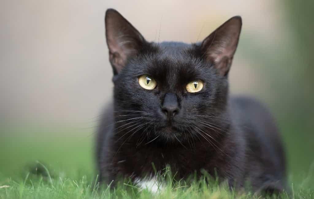 Zwarte katten niet in adoptie vanwege rituelen Halloween