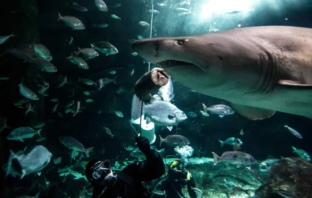 Haai eet collega-vis in Aquarium Finisterrae Galicië