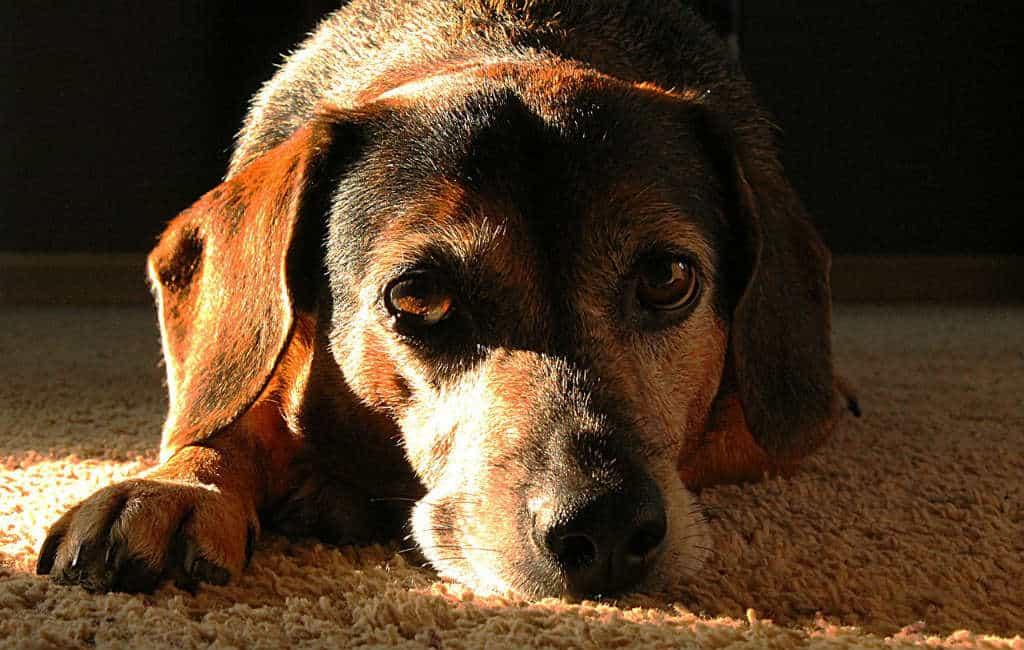 56 honden in slechte staat in een flat in Alicante