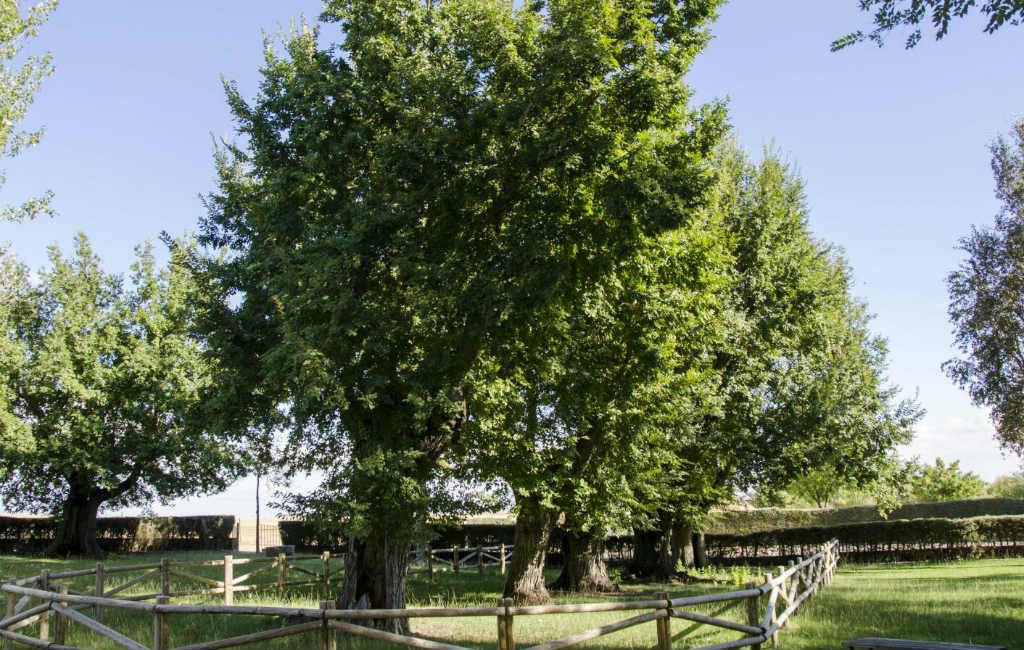 Oeroude iepen in Spanje halen tweede plaats bij Europese boom van het jaar verkiezing