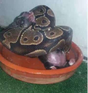 Vrouw onschuldig verklaard van het voeren van een slang met puppies en kittens