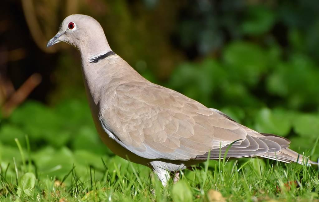 Tieners ontvoeren duif en vragen 50 euro losgeld in Alicante