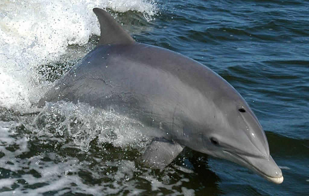 Video van dolfijnen voor de kust van Torrevieja