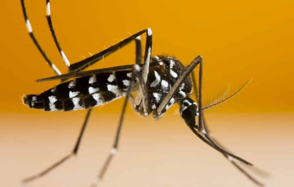 IJsland heeft zich vergist met Chikungunya-virus besmetting in Alicante