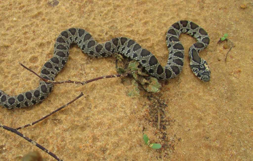 Alweer 700 slangen gevangen op Ibiza en Formentera