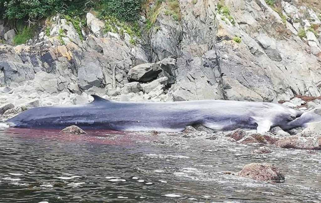 Levende walvis gevonden op de rotsen bij de kust in Asturië