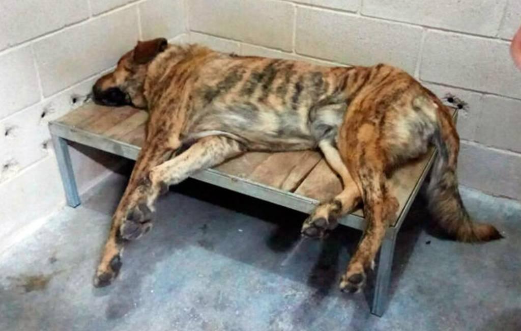 Vier gewonden na aanval (jaloerse) mastiff hond in Galicië