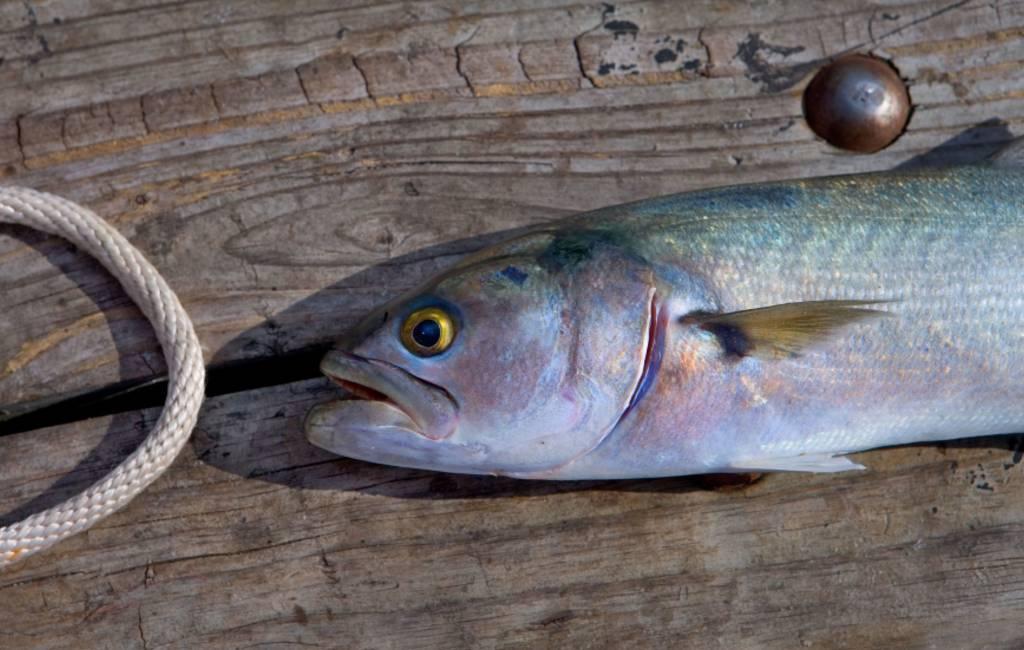 'Bijtende vis' gevangen voor de kust van Elche