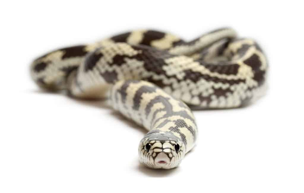 Bijna 1.000 slangen gevangen op Gran Canaria