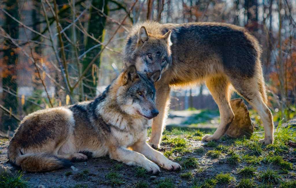 Castilië en León regio opent jacht op 340 wolven