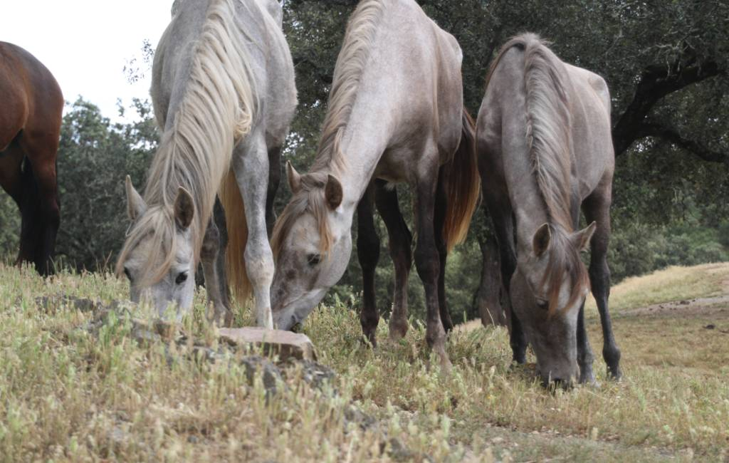 Stichting Paard in Nood Spanje heeft hulp nodig