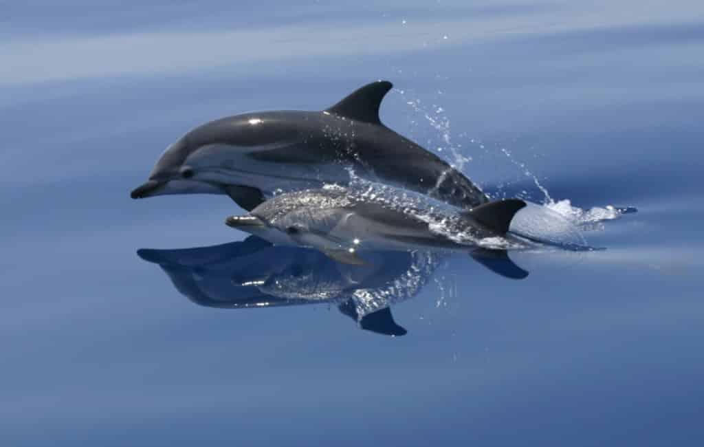 Dolfijnen vluchten weg bij Ibiza vanwege geluidsoverlast