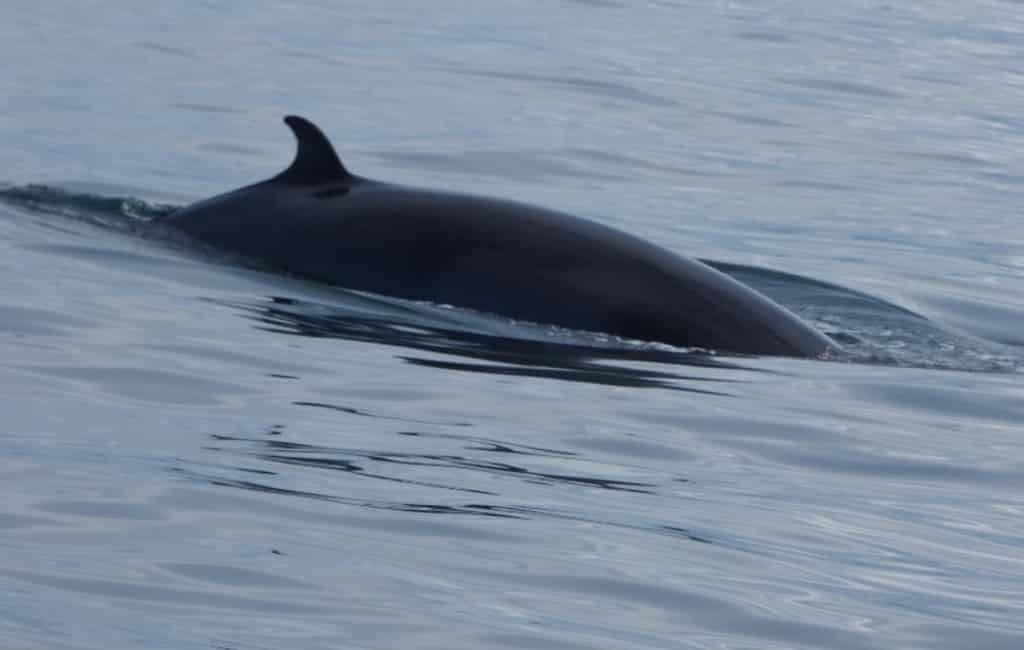 Surfer redt baby walvis op strand Málaga
