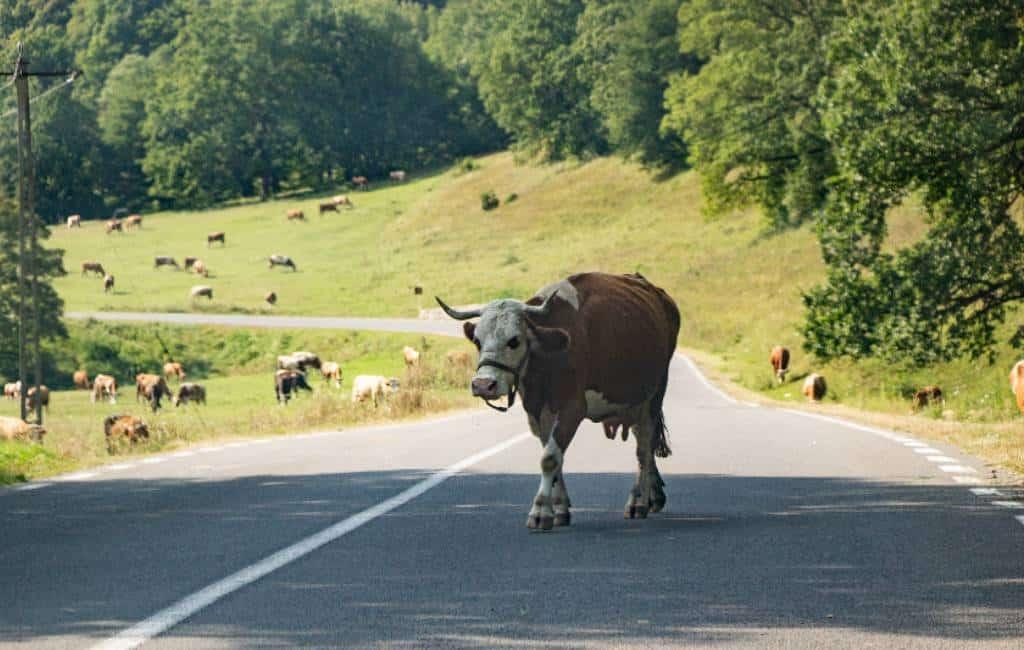 Overreden door eigen auto bij wegjagen van koe in Cantabrië