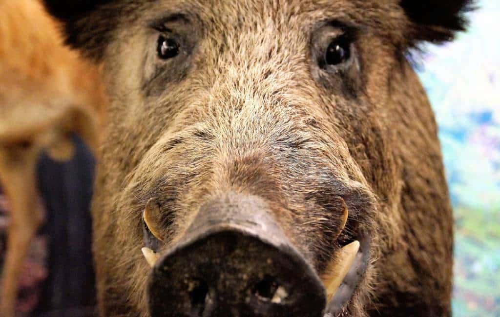 Aangeschoten wild zwijn verwondt uit wraak jager in Navarra