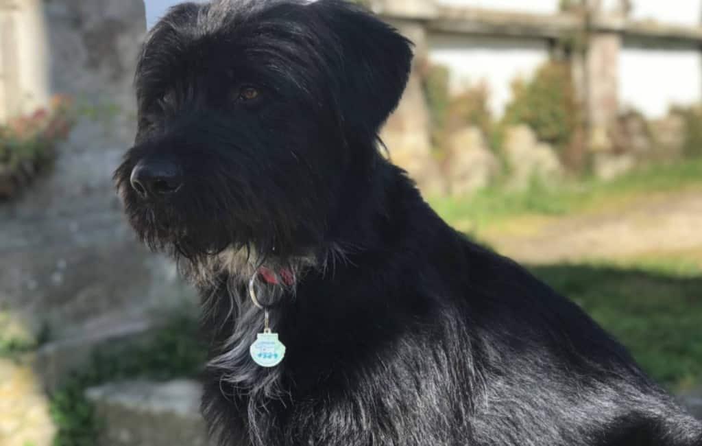 Geadopteerde hond langs de Camino de Santiago gaat naar Japan