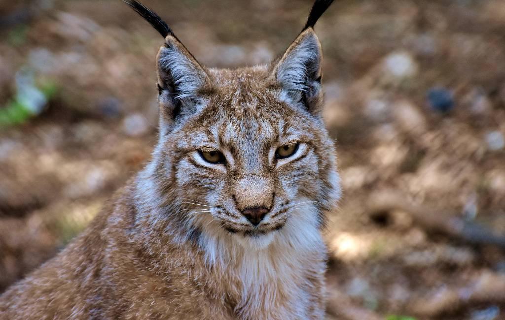 Aantal Iberische Lynxen in Spanje toegenomen in 2019
