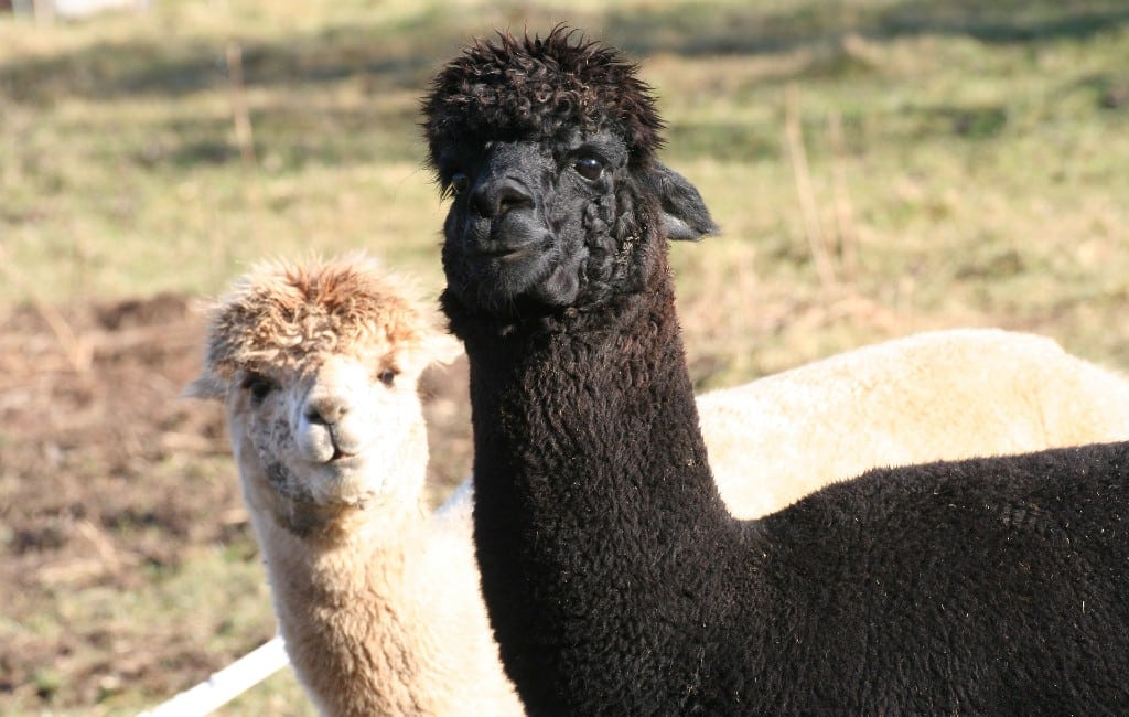 Belgisch koppel runt een alpaca's farm op Ibiza