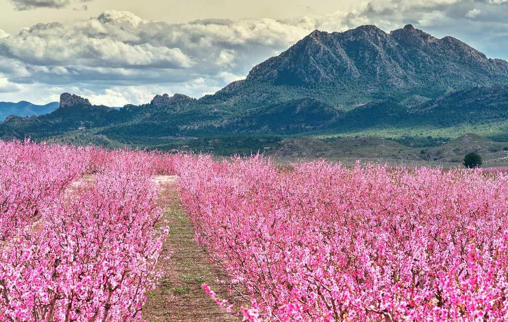 'Floración de Cieza' in Murcia is een bloeiend perzikbomen feest