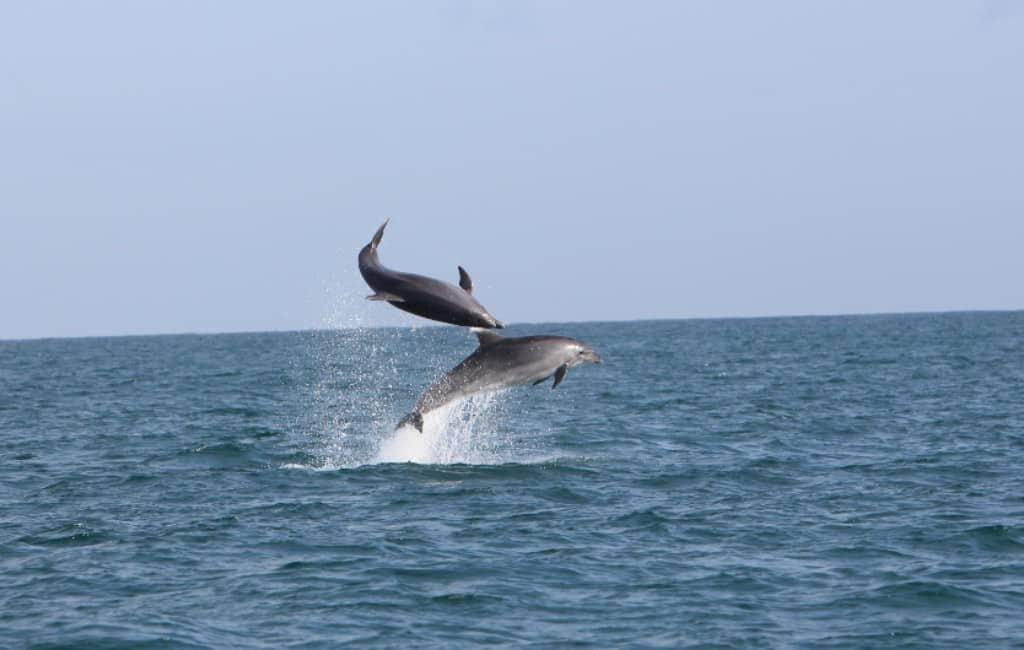 Honderden dolfijnen gespot voor de kust van Denia