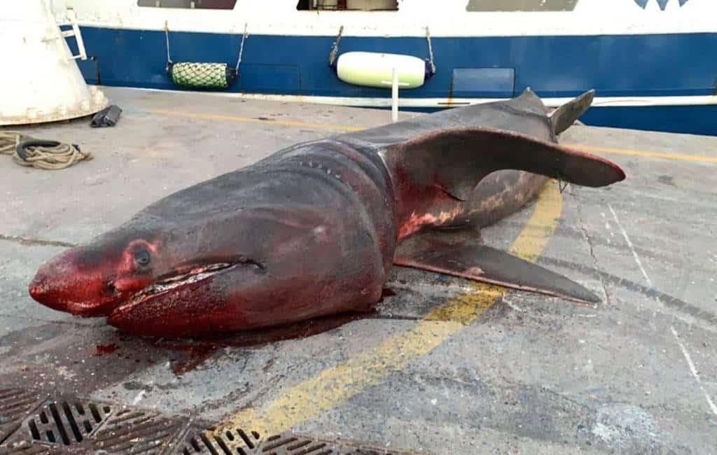 7 meter lange haai uit het water gehaald bij Salou