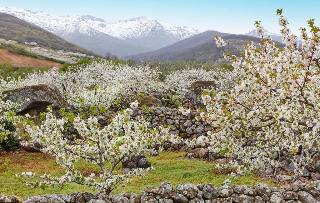 Spectaculair om te bezoeken: de kersenbloesem in de Valle del Jerte