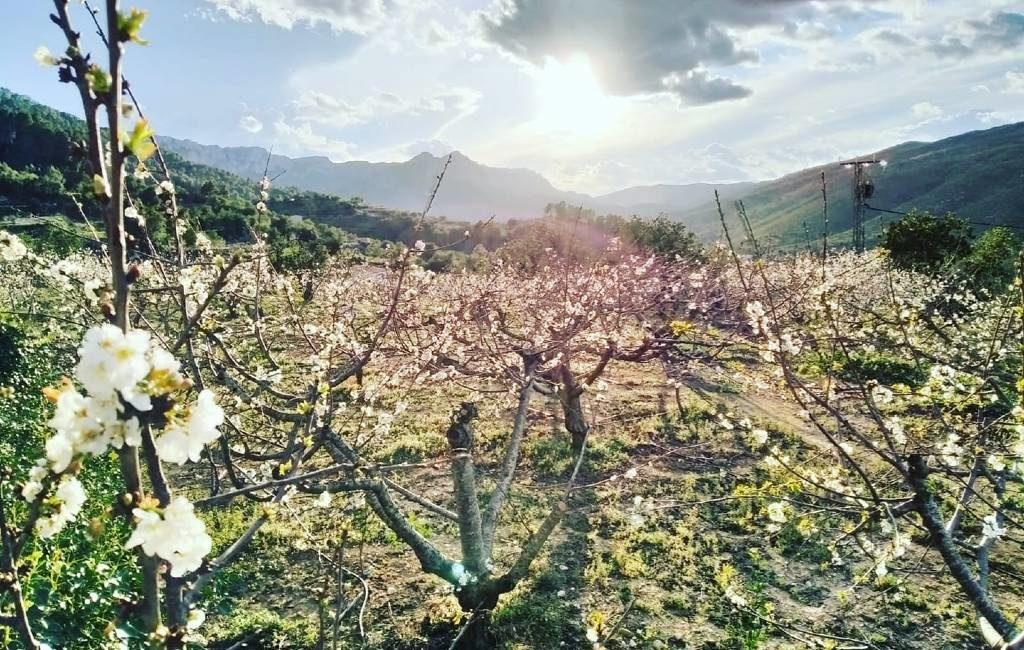 De bloeiende kersenbomen van de Valle de Gallinera in Alicante