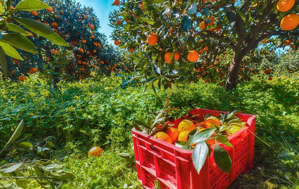 Toename verkopen Spaanse sinaasappelen om Vitamine C coronavirus geruchten