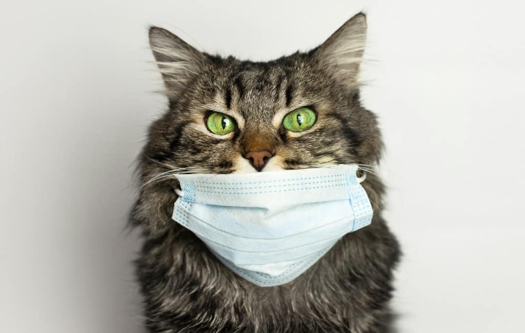 Eerste met coronavirus besmette kat in Spanje overleden