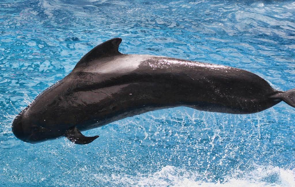 Een honderdtal grienden-dolfijnen voor de kust van de Costa Brava (video)