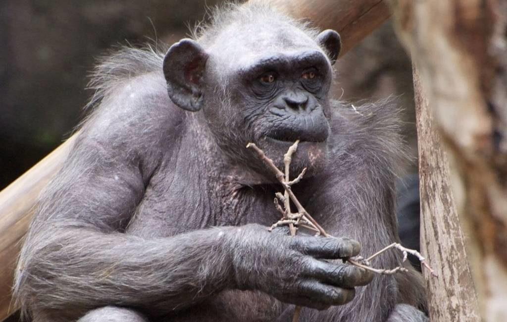 Oudste chimpansee van Europa in dierentuin Barcelona overleden