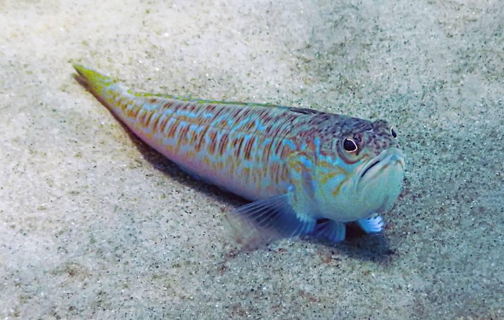 16-jarige snorkelaar overleden na prik grote pieterman vis aan de Costa Brava