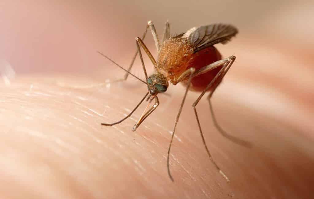 18 ziekenhuisopnames na muggenbeet en wetsnijlvirus bij Sevilla
