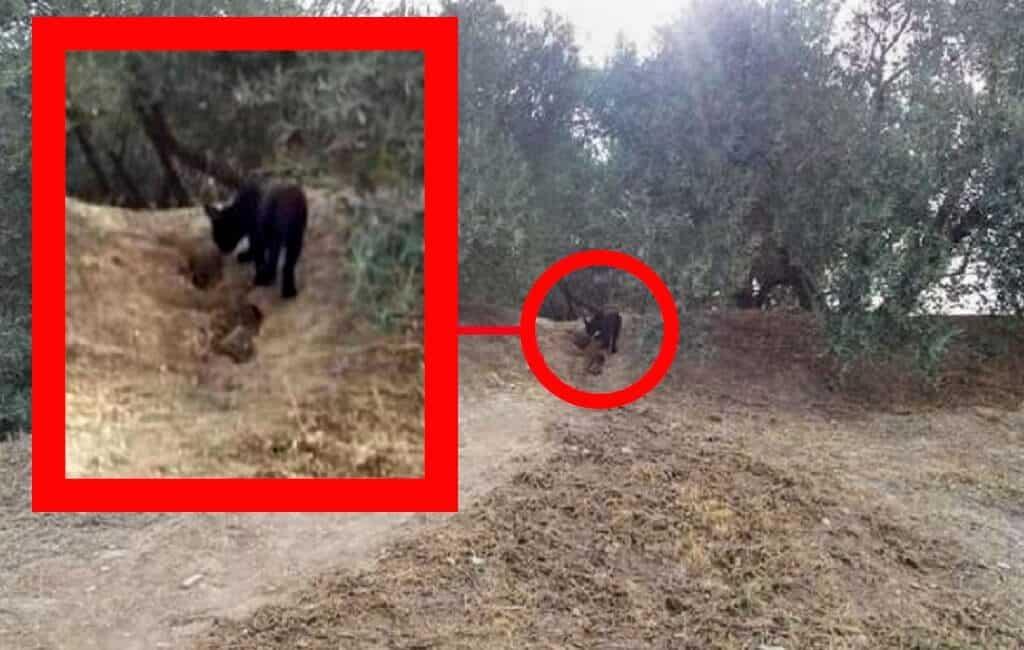 Zoektocht naar gefotografeerde zwarte panter in Granada gaat door