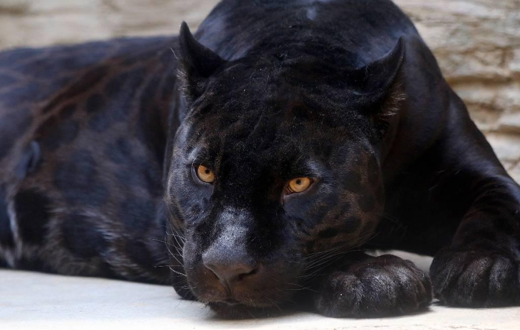 Klopjacht naar vermeende zwarte panter in de provincie Granada
