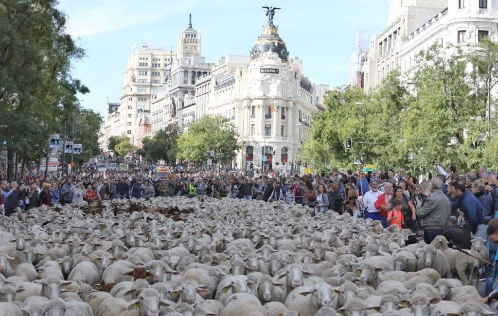 Dit jaar vanwege corona geen schapen in het centrum van Madrid