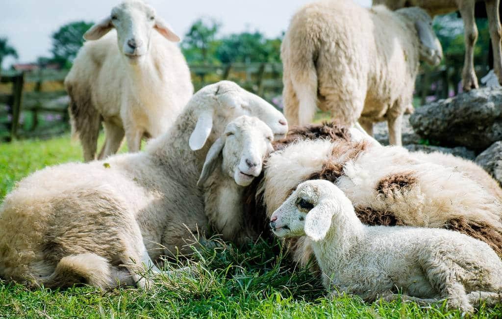Verplichte vaccinatie 150.000 dieren in Pyreneeën vanwege blauwtong