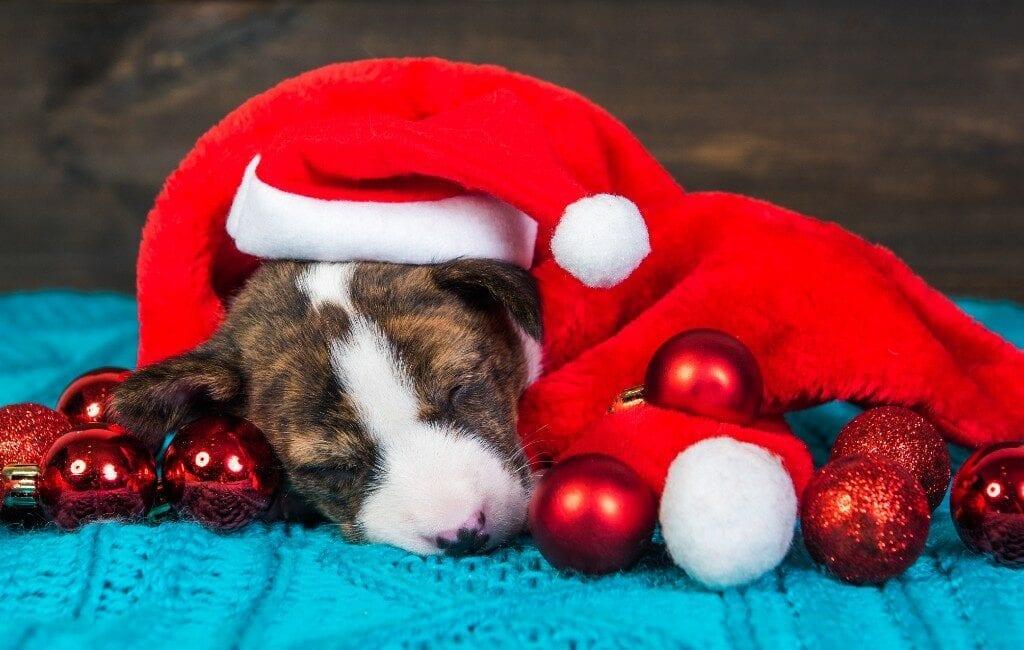 Nieuwe campagne in Spanje want een hond is geen kerstgeschenk