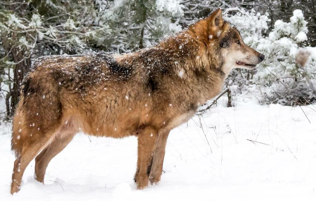 Spaanse regering wil Iberische wolf beschermen met een landelijk jachtverbod