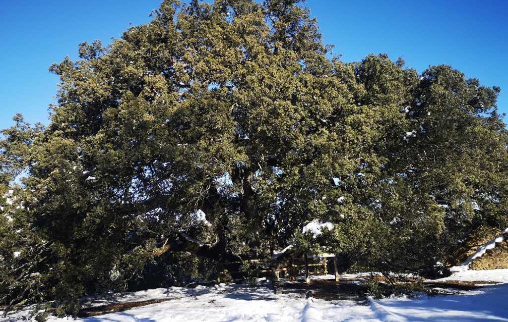 Stem mee voor de Spaanse kandidaat voor de 'Europese boom van het jaar'