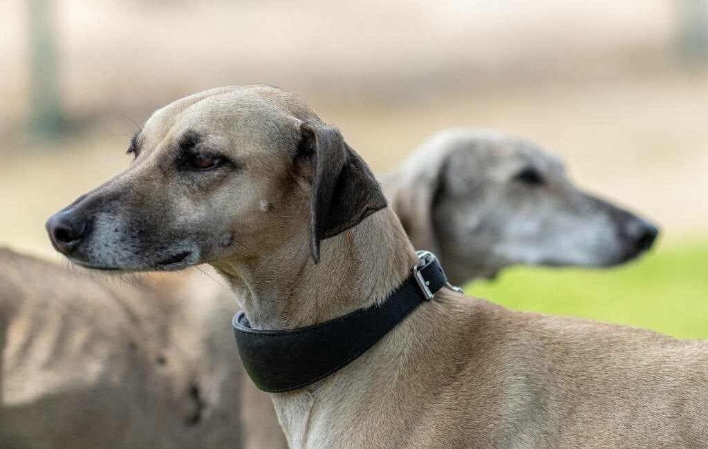 Protest tegen jacht met Galgo en Podenco honden in Spanje